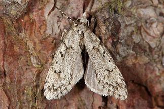 Diurnea fagella - Buchenmotte, Sängerin, Männchen