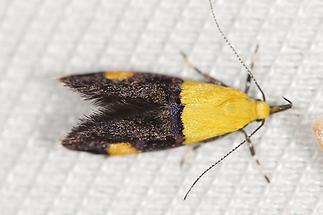 Oecophora bractella - kein dt. Name bekannt, Falter