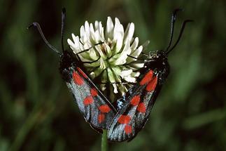 Zygaena filipendulae - Sechsfleckwidderchen, Paar (1)
