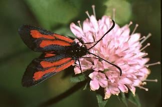 Zygaena purpuralis - Thymian-Widderchen, Falter Oberseite