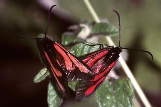 Zygaena purpuralis - Thymian-Widderchen, Paar Oberseite