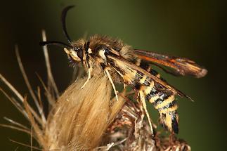 Bembecia ichneumoniformis - Hornklee-Glasflügler, Falter Seite