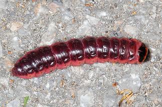 Cossus cossus - Weidenbohrer, Raupe (1)