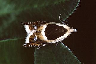 Ancylis badiana - kein dt. Name bekannt, Falter