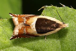 Ancylis badiana - kein dt. Name bekannt (1)