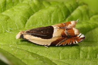 Ancylis badiana - kein dt. Name bekannt (2)
