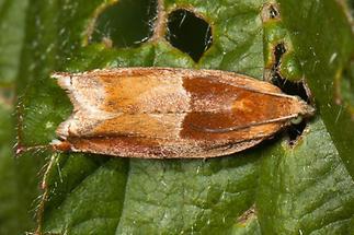Ancylis mitterbacheriana - kein dt. Name bekannt, Falter