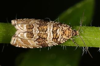 Celypha rivulana - kein dt. Name bekannt, Falter