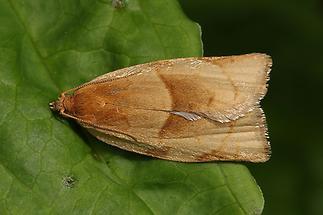 Clepsis rurinana - kein dt. Name bekannt, Falter