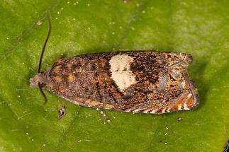 Epiblema scutulana - kein dt. Name bekannt, Falter