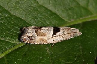 Epinotia ramella - kein dt. Name bekannt, Falter