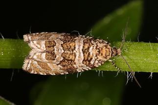 Gypsonoma dealbana - kein dt. Name bekannt, Falter