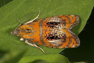 Olethreutes arcuella - Prachtwickler, Falter