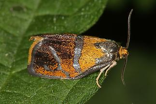 Ptycholoma lecheana - kein dt. Name bekannt, Falter