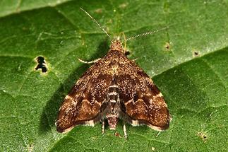 Anthophila fabriciana - kein dt. Name bekannt, Falter (1)