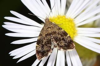 Anthophila fabriciana - kein dt. Name bekannt, Falter (2)