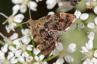 Anthophila fabriciana - kein dt. Name bekannt, Falter (3)
