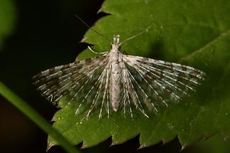 Alucita hexadactyla - kein dt. Name bekannt