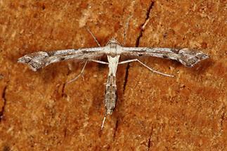 Platyptilia gonodactyla - kein dt. Name bekannt, Falter Oberseite
