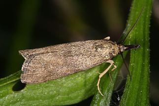 Hypochalcia ahenella - kein dt. Name bekannt, Falter