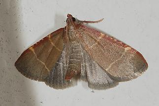 Hypsopygia glaucinalis - kein dt. Namr bekannt, Falter
