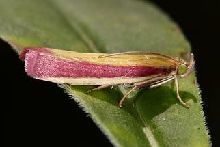 Oncocera semirubella - kein dt. Name bekannt, Falter