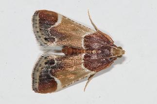 Pyralis farinalis - Mehlzünsler, Falter
