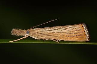 Agriphila straminella - kein dt. Name bekannt, Falter