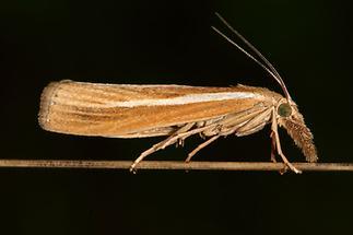 Agriphila tristella - kein dt. Name bekannt, Falter