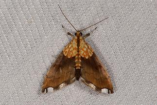 Agrotera nemoralis - kein dt. Name bekannt, Falter, Lichtfang