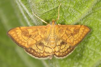 Anania verbascalis - kein dt. Name bekannt, Falter