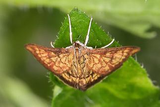 Ecpyrrhorrhoe rubiginalis - kein dt. Name bekannt, Falter