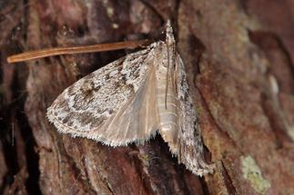 Eudonia truncicolella - kein dt. Name bekannt, Falter