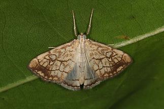 Evergestis pallidata - kein dt. Name bekannt, Falter