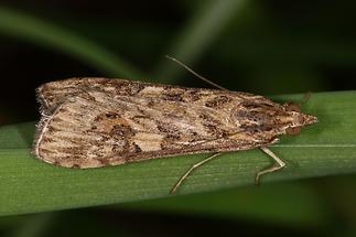 Nomophila noctuella - Wanderzünsler, Falter