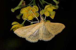 Paratalanta hyalinalis - kein dt. Name bekannt, Falter