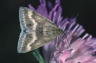 Pyrausta aeralis - kein dt. Name bekannt, Falter