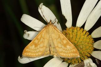 Sitochroa verticalis - kein dt. Name bekannt, Falter