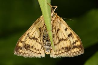 Sitochroa verticalis - kein dt. Name bekannt, Unterseite