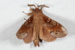 Dentrolimus pini - Kiefernspinner, Männchen, Lichtfang