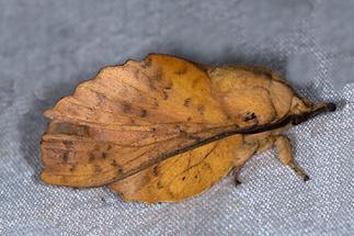 Gastropacha quercifolia - Kupferglucke, Falter, Lichtfang