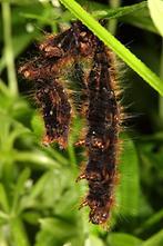 Lasiocampa quercus - Eichenspinner, verlassene Raupenhaut