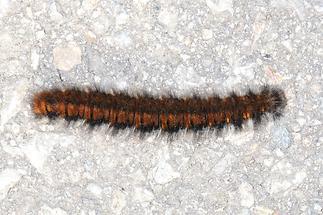 Macrothylacia rubi - Brombeerspinner, Raupe (4)
