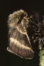 Malacosoma alpicola - Alpiner Ringelspinner, Männchen