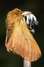 Malacosoma alpicola - Alpiner Ringelspinner, Weibchen