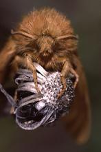 Malacosoma alpicola - Alpiner Ringelspinner, Weibchen, Portrait
