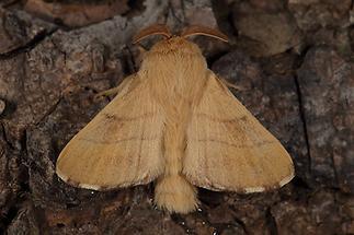 Malacosoma neustria - Ringelspinner, Männchen (1)