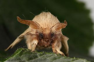 Malacosoma neustria - Ringelspinner, Männchen (2)