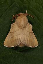 Malacosoma neustria - Ringelspinner, Männchen (3)