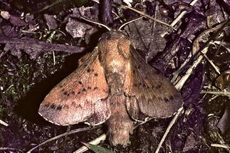Phyllodesma tremulifolia - Kleine Eichenglucke, Falter